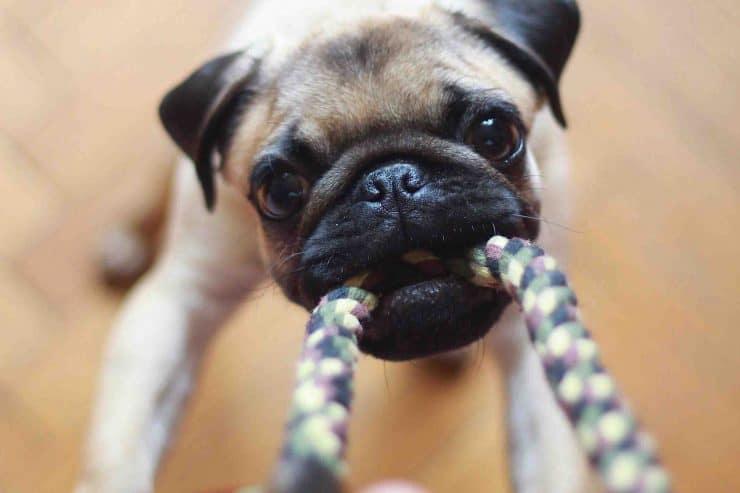 pug dog plays with tug of war toy