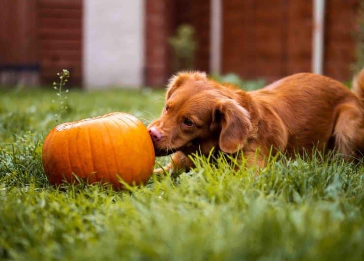 Dog with pumpkin