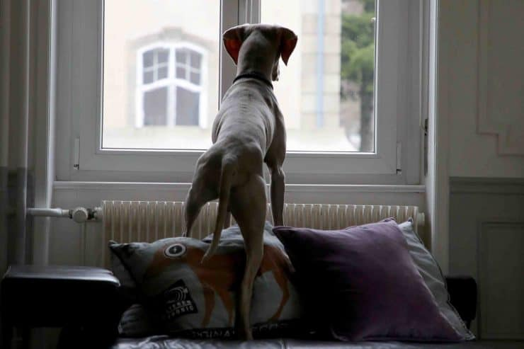 anxious dog stands on couch and looks out window