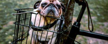 dog sits in a bike basket