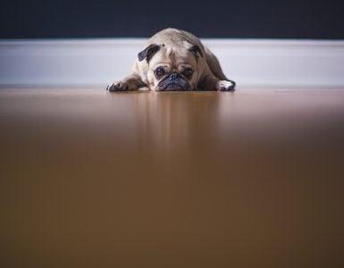 dog lies on floor uninterested