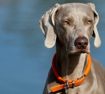 weimaraner wears rolled leather dog collar