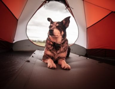 dog lies inside camping tent