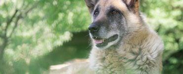 older dog lies in grass