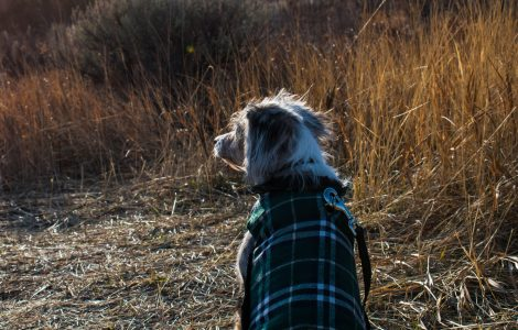 dog wearing waterproof dog coat
