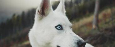 deaf white dog