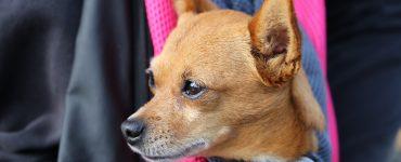 dog in carrier sling