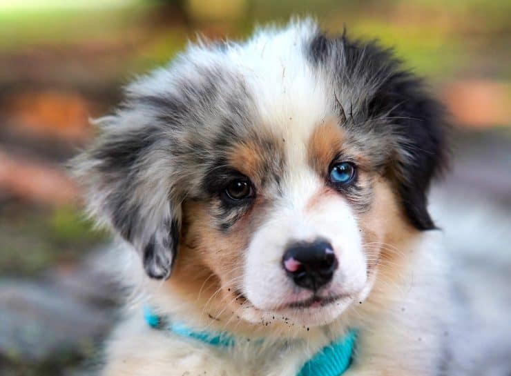 puppy with blue eyes
