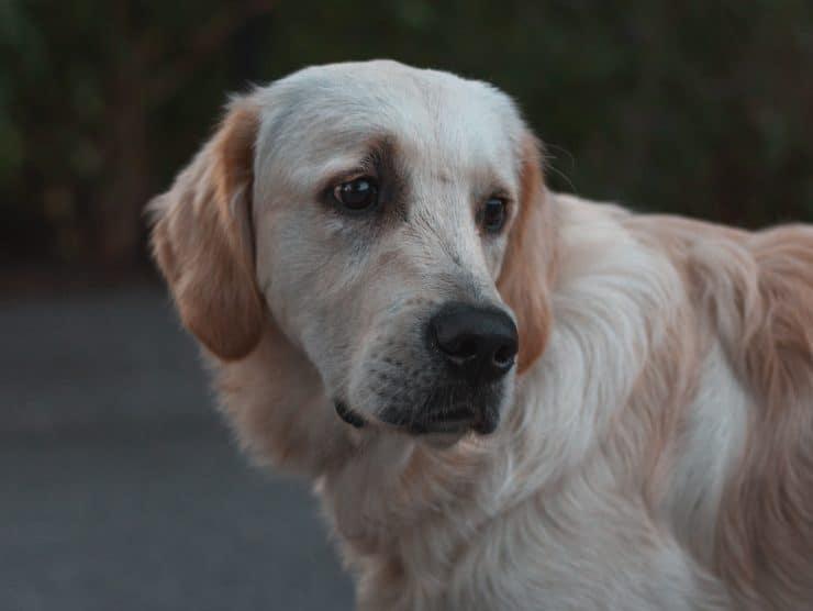 labrador retriever looking sad