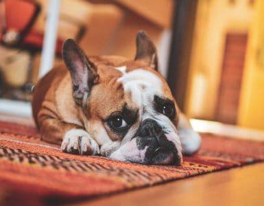 older dog incontinence