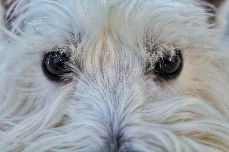 dogs eyes staring