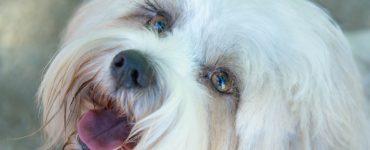 dog eyelashes grow back