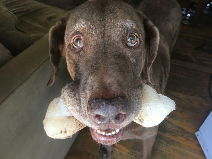 dog holding nylabone
