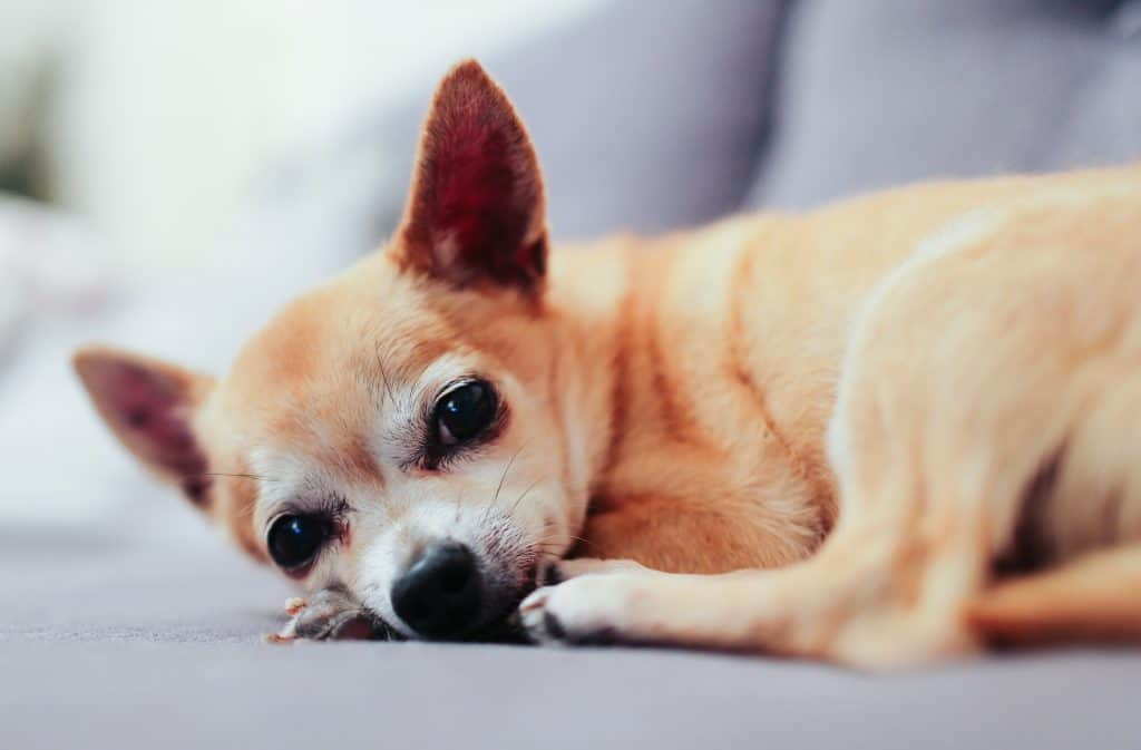old chihuahua lying down