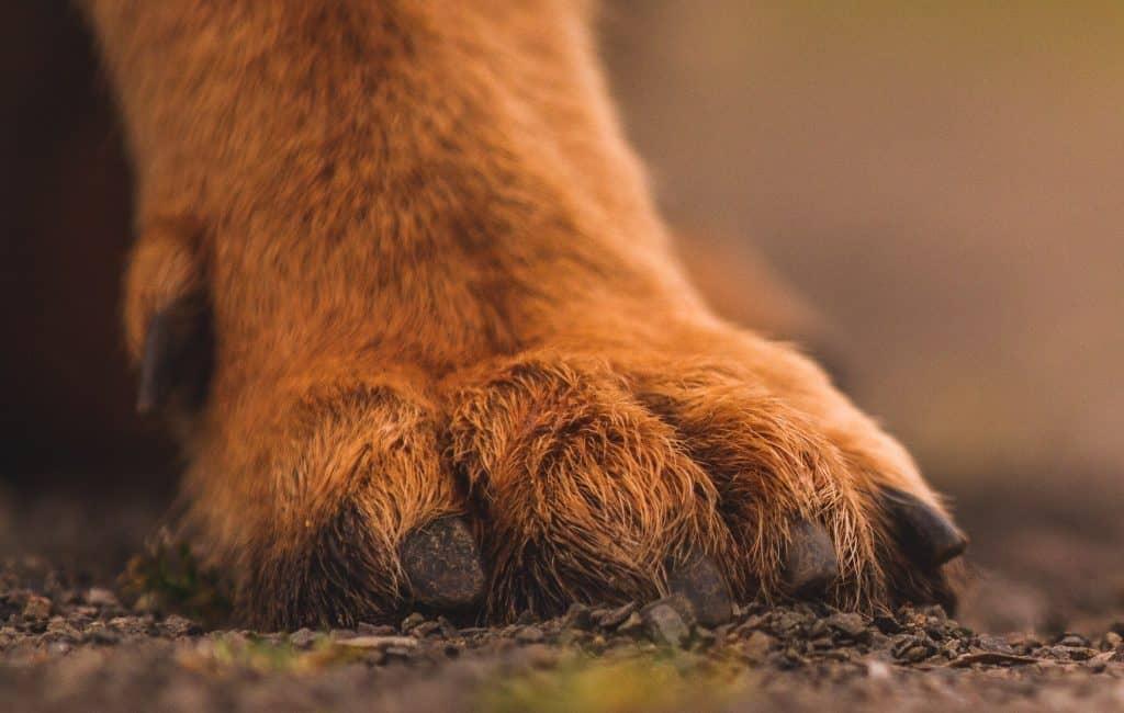 dog paw with dewclaw