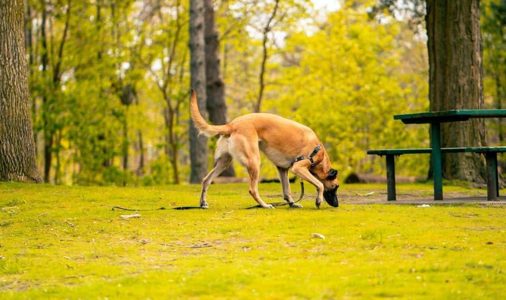 dog eating deer poop