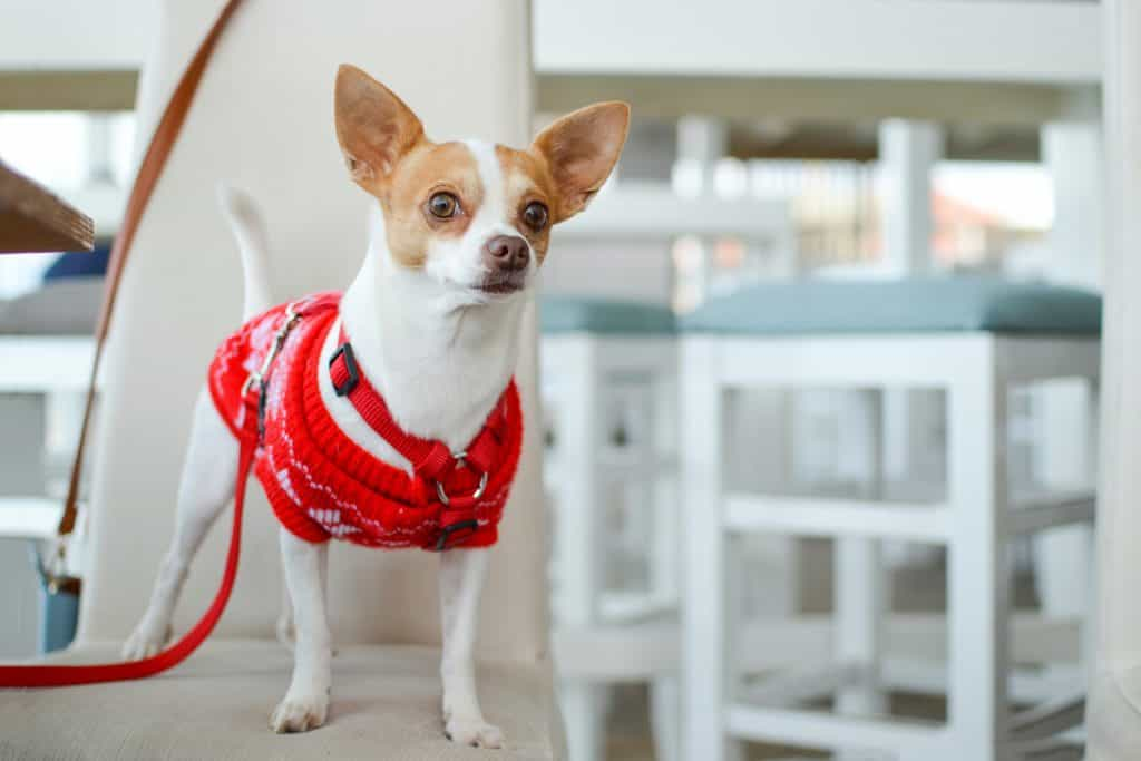 chihuahua wearing sweater stands