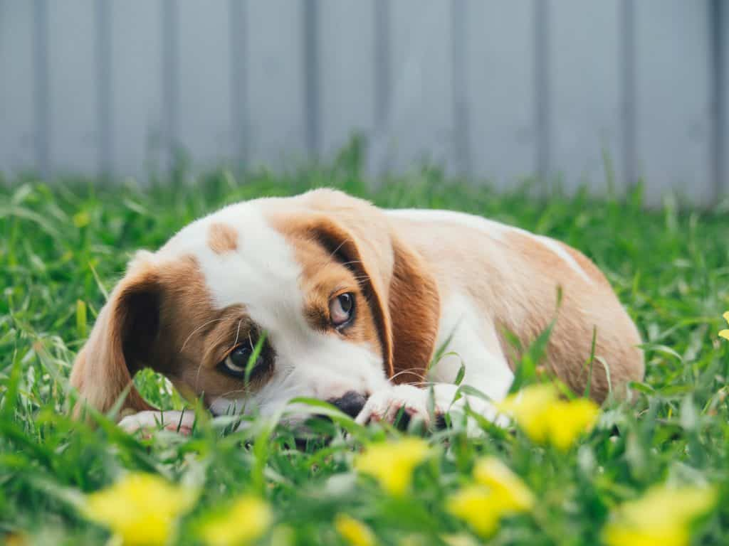 is sevin dust safe for dogs