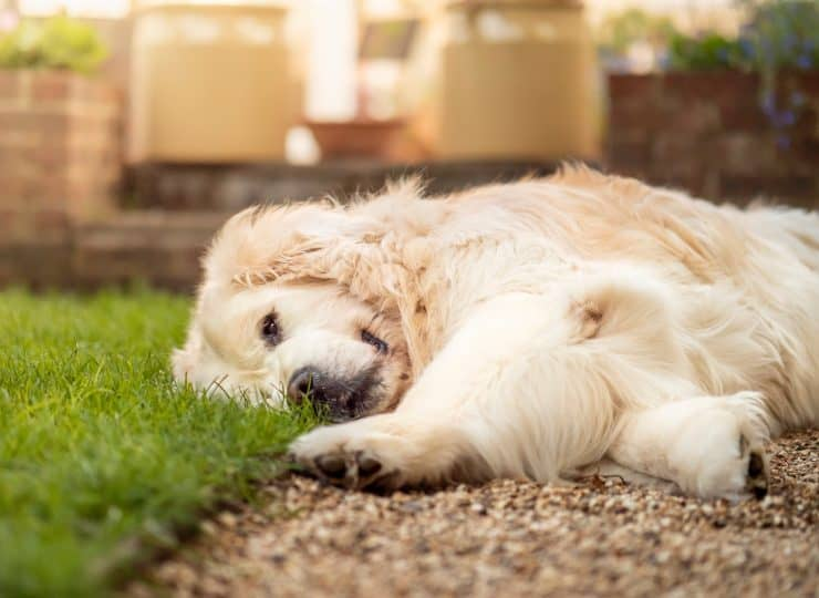 dog laying on lawn