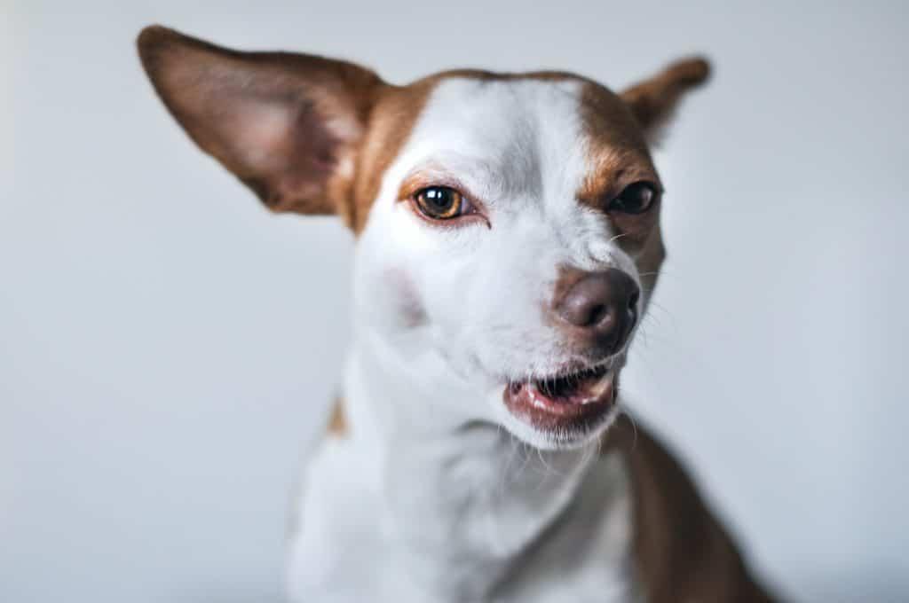 dog ate an edible