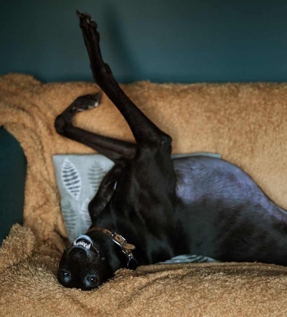 dog upside down on couch
