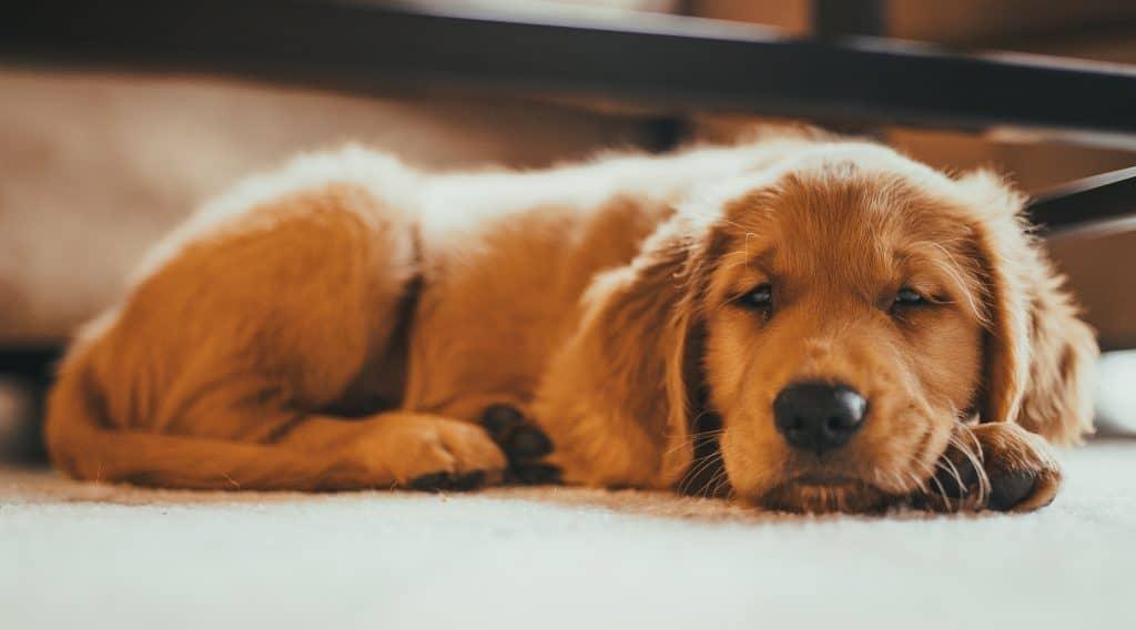 calm golden retriever puppy