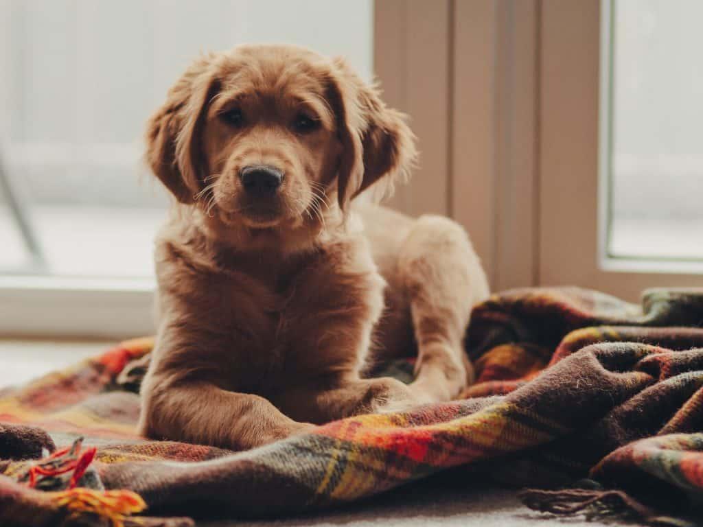 calm puppy